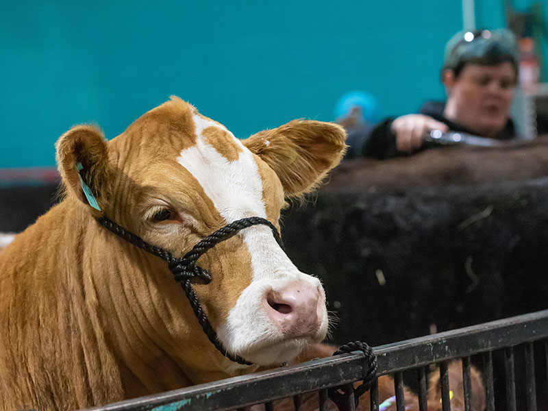 Cattle on display at the Royal Manitoba Winter Fair, Brandon, Manitoba. Cattle groomer is shown in the background.