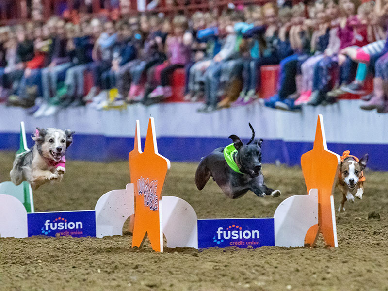 Three dogs jumping over obstacles in a dog races at the Royal Manitoba Winter Fair, Brandon, Manitoba